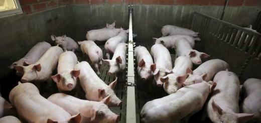 El desarrollo de estos cerdos es otra prueba del poder de la tecnología de edición genética, que está llevando a la industria de la biotecnología a un éxito rotundo.
