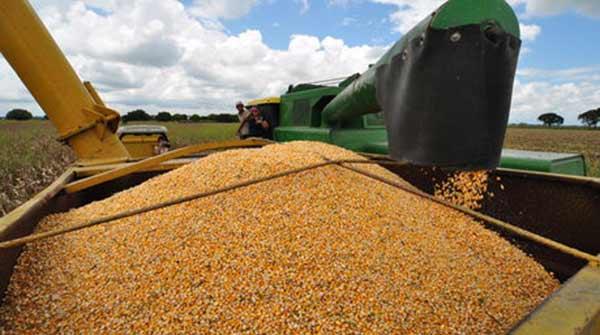 Cultivo-maiz-Asoportuguesa_NACIMA20130827_0030_6