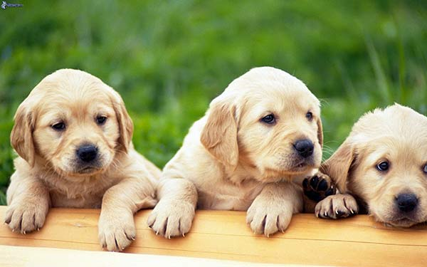 Cachorros   Foto referencial