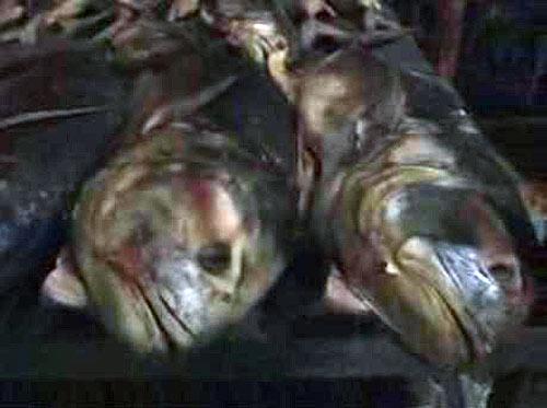 Pescado en descomposición  Foto: Sundde