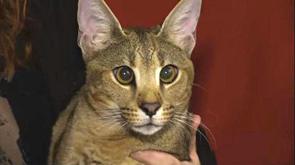 Híbrido de gato y Caracal | Foto: Captura de video