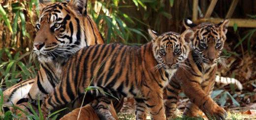 gestacion-de-los-tigres