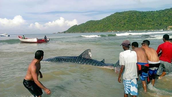 tiburon ballena 4