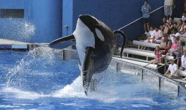 Con más de 5.000 kilos y 6,9 metros, Tilikum era la orca más grande del mundo que vivía en cautiverio | Reuters
