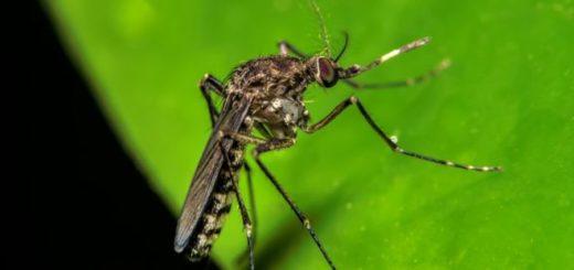 El mosquito que transmite la fiebre oropouche es diferente al del zika, el dengue y la chikungunya | Thinkstock