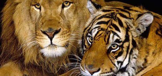 Cruce entre un león y una tigresa: bebé ligre |Foto: AFP