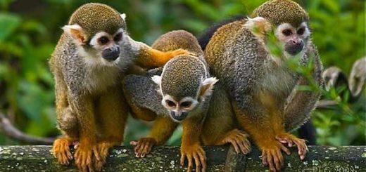 brote de fiebre amarilla causó la muerte de más de 600 monos | Foto: ecologiaverde