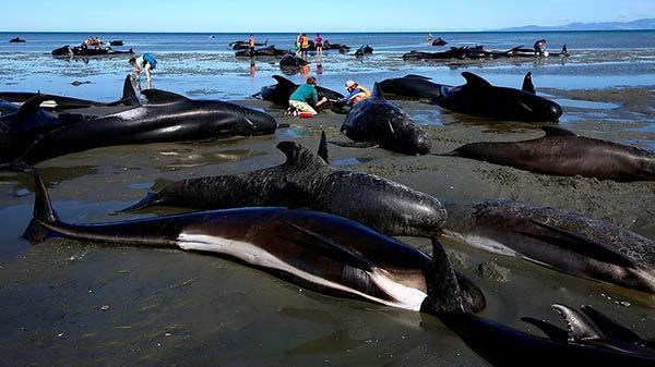 Ballenas Se Encallan En Nueva Zelanda