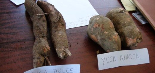 Conoce las diferencias entre la yuca amarga y la dulce | Foto referencial