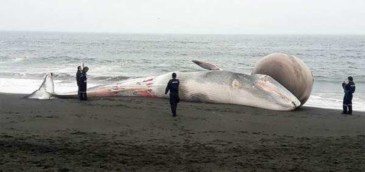 La ballena despertó gran preocupación para los expertos marinos |Foto: AFP