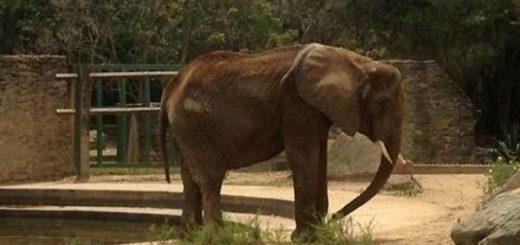 Elefanta Ruperta |Foto: El Nacional