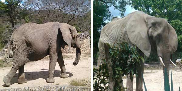 Ruperta, la elefanta del zoológico de Caricuao | Foto: @RCamachoVzla