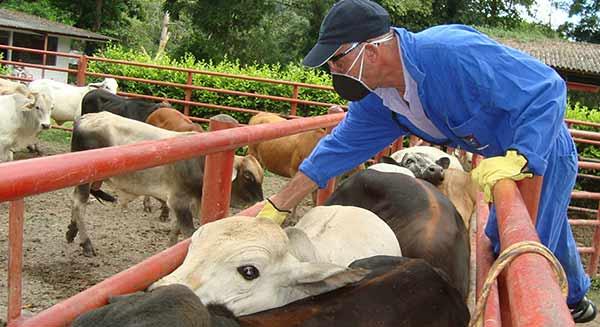 Fiebre aftosa afecta al ganado   Foto referencial