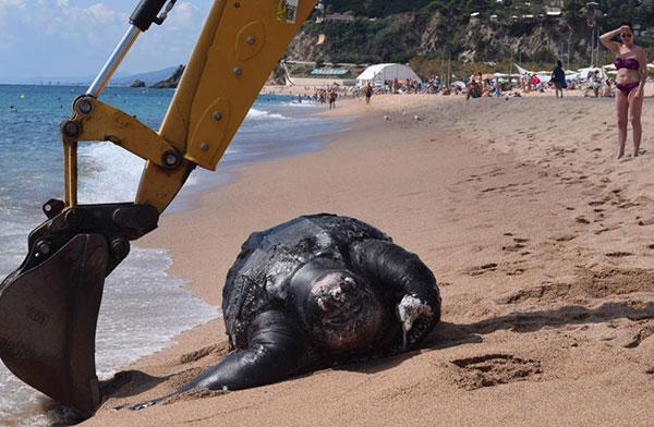 Hallan una enorme tortuga de 700 kilos en una playa española | Foto: Júlia Ferrer Morell / La Vanguardia