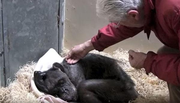 Chimpacé moribunda reconoce a su antiguo cuidador | Foto: Captura de video