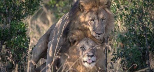 "Leones ""gay"" en Kenia |Foto: Infobae"