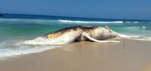 Ballena muerta en playa Ipanema, Rio de Janeiro   Foto: Infobae