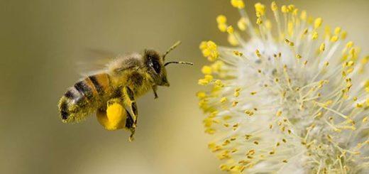 Las abejas no desaparecerán, dicen expertos |Foto cortesía