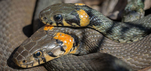 serpiente dos cabezas