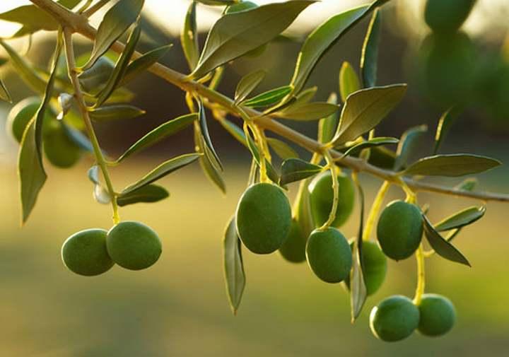 Mata de olivos